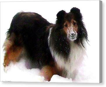 Sheltie Loves The Snow Canvas Print by Gail Matthews