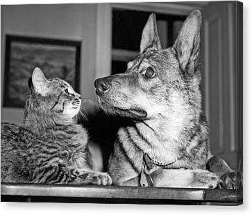Shepherd And His Rescue Cat Canvas Print by Underwood Archives