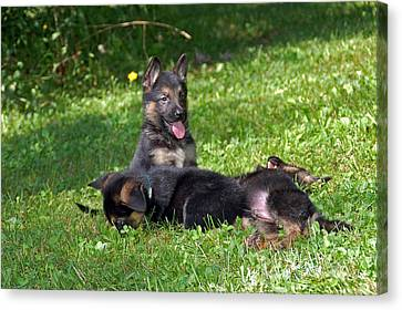 Shepherd Pups 20 Canvas Print by Aimee L Maher Photography and Art Visit ALMGallerydotcom