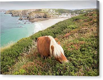 Shetland Ponies Canvas Print by Ashley Cooper