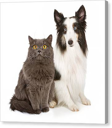 Shetland Sheepdog And Gray Cat Canvas Print