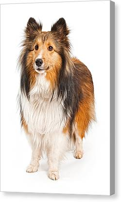Shetland Sheepdog Dog Isolated On White Canvas Print by Susan Schmitz