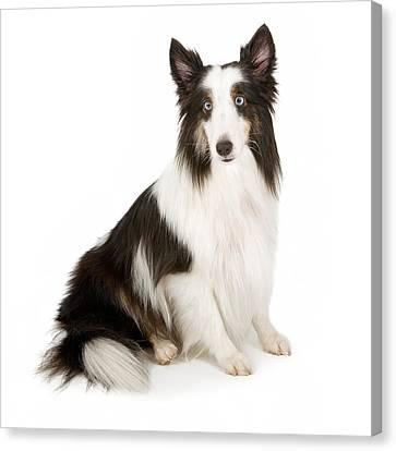 Shetland Sheepdog With Blue Eyes Stock Photo  Canvas Print