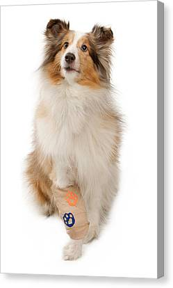 Shetland Sheepdog With Injured Leg Canvas Print
