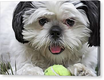 Shihtsu Canvas Print - Shih Tsu And Ball by Stephen Bonk
