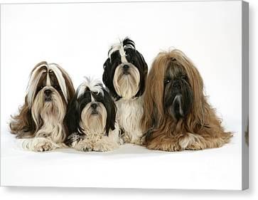 Shihtzu Canvas Print - Shih-tzu Dogs by John Daniels
