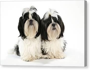 Shihtzu Canvas Print - Shih-tzu Puppy Dogs by John Daniels