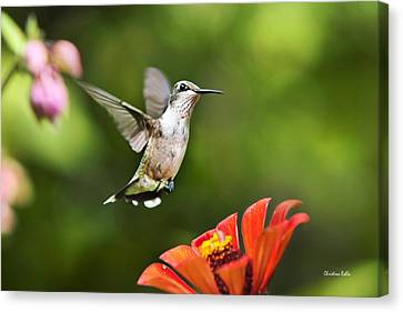 Shimmering Breeze Hummingbird Canvas Print by Christina Rollo