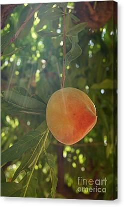 Shining Peach Canvas Print by Kerri Mortenson