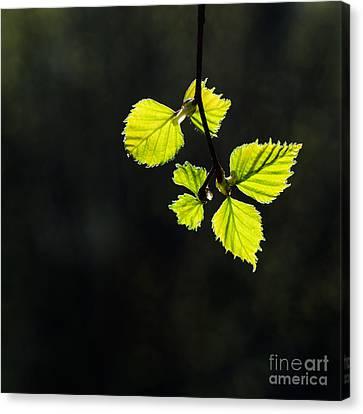 Canvas Print featuring the photograph Shining Springtime by Kennerth and Birgitta Kullman