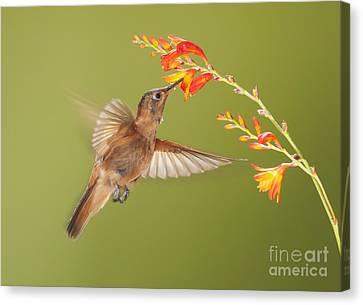 Canvas Print featuring the photograph Shining Sunbeam Hummingbird by Dan Suzio