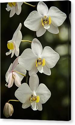 Shinning Orchids Canvas Print by Penny Lisowski