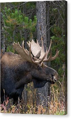 Shiras Bull Moose Canvas Print by Ken Archer