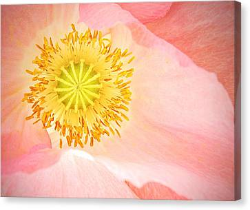 Shirley Poppy Center Canvas Print by Chris Berry