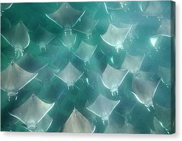 Devil Ray Canvas Print - Shoal Of Smoothtail Mobula Rays by Christopher Swann