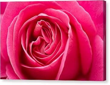 Shocking Pink Rose Canvas Print