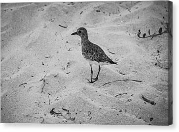Canvas Print featuring the photograph Shore Bird by Phil Abrams