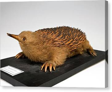 Short-beaked Echidna Canvas Print by Ucl, Grant Museum Of Zoology