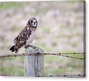 Short Eared Owl Boundary Bay Canvas Print by Chris Dutton
