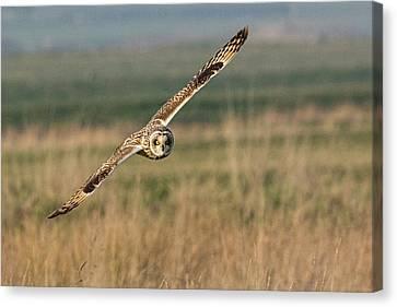 Short Eared Owl Canvas Print by Ian Hufton