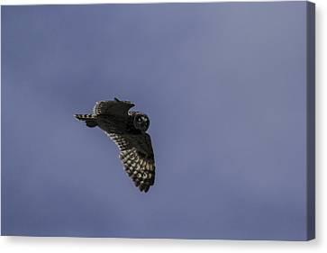 Short Eared Owl In Flight Canvas Print by Brad Scott