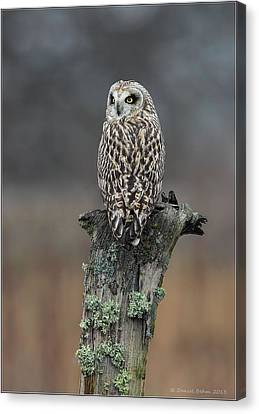 Canvas Print featuring the photograph Short Eared Owl Perched by Daniel Behm