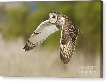 Short-eared Owl Canvas Print by Robert Canis FLPA