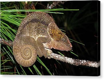 Short-horned Chameleon Canvas Print by Dr P. Marazzi