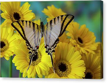 Short-lined Kite Swallowtail Butterfly Canvas Print