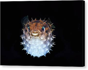 Short-spined Porcupinefish Canvas Print by Jeff Rotman