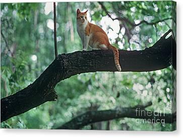 Shorthair Cat Canvas Print by James L. Amos