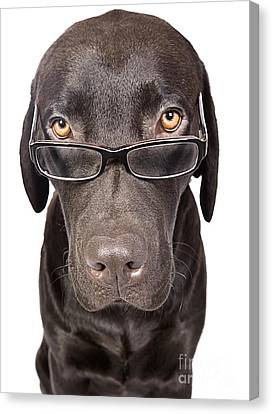 Shot Of A Cute And Clever Labrador With Glasses Canvas Print by Justin Paget