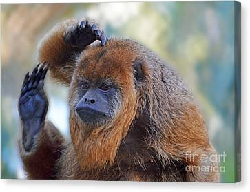 Year Of The Monkey Canvas Print - Should I Wave Or Salute  A Brown Howler Monkey by Jim Fitzpatrick