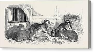 Show Of The Metropolitan Fancy Rabbit Club Canvas Print by English School