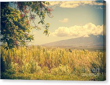 Shower Tree Cassis Fistula And Sugar Cane Makawao Maui Hawaii Canvas Print by Sharon Mau