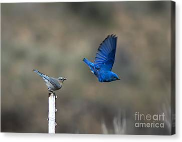 Bluebird Canvas Print - Showing Off by Mike  Dawson