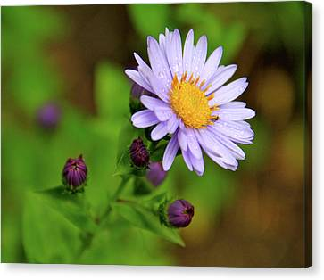 Showy Aster Canvas Print by Ed  Riche