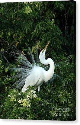 Showy Great White Egret Canvas Print by Sabrina L Ryan