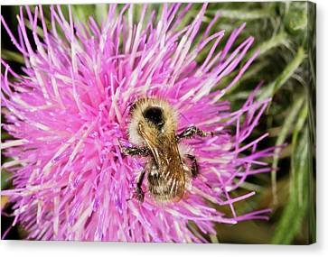 Shrill Carder Bee On Knapweed Flower Canvas Print by Bob Gibbons