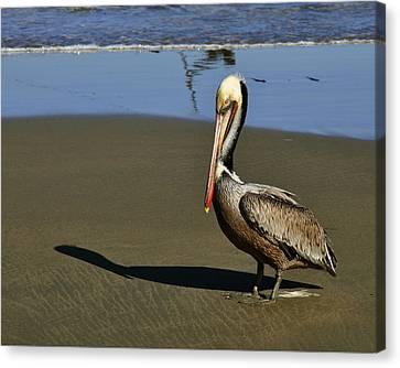 Shy Pelican Canvas Print by Gandz Photography