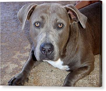 Shy Pit Bull Puppy Canvas Print by Mary Deal
