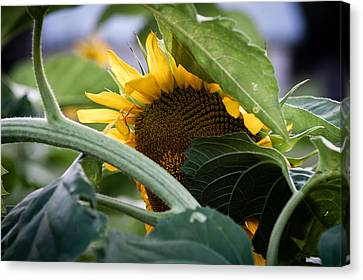 Canvas Print featuring the photograph Shy Sunflower by Wayne Meyer
