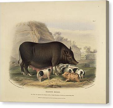 Swine Canvas Print - Siamese Breed by British Library
