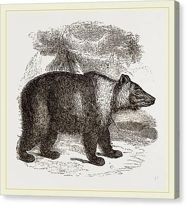 Siberian Bear Canvas Print