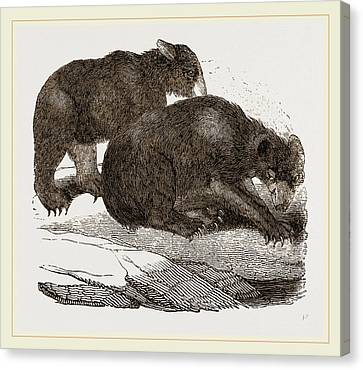 Siberian Bears Canvas Print