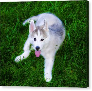 Siberian Huskie Canvas Print by Bill Cannon