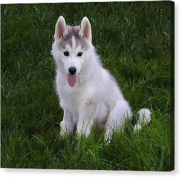 Siberian Huskie Pup Canvas Print by Bill Cannon