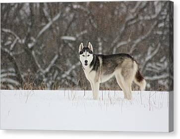 Siberian Husky 20 Canvas Print by David Dunham