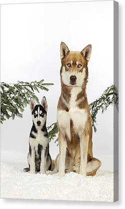 Husky Canvas Print - Siberian Husky And Puppy by John Daniels