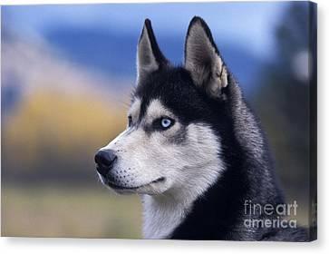 Siberian Husky Dog Canvas Print by Rolf Kopfle